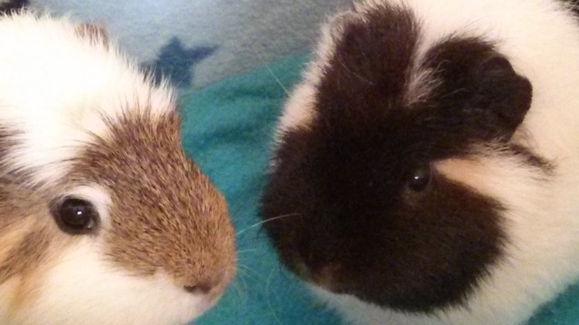 Piggies pretending to be mice
